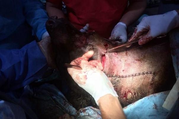 Momento de la operación  a Invictus. Foto: Cortesía